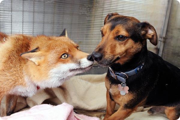 Домашняя лисичка Рокси