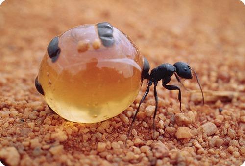 http://cdn.zoopicture.ru/wp-content/uploads/2011/08/honeypot-ant-diet.jpg