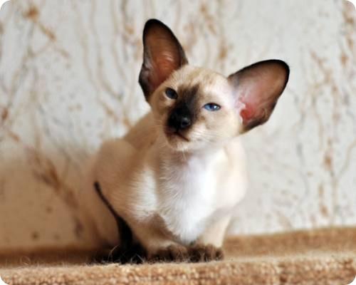 Сиамские или тайские кошки. Какие они?