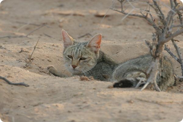 Степная кошка (лат. Felis libyca)