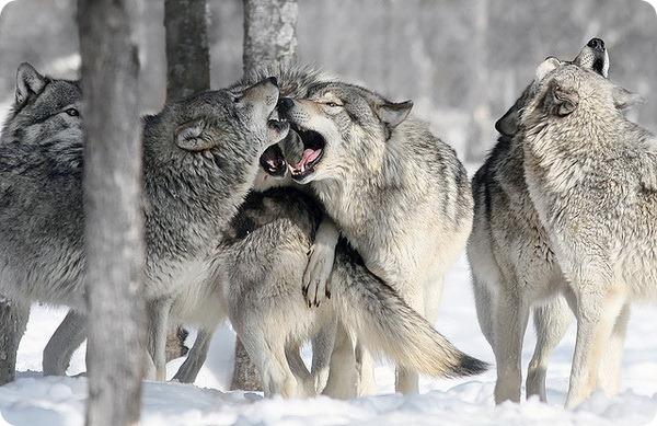Серый, или обыкновенный волк (лат. Canis lupus)