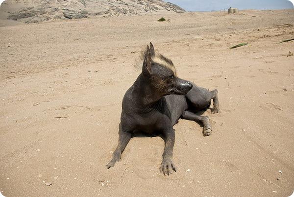 Перуанская голая собака