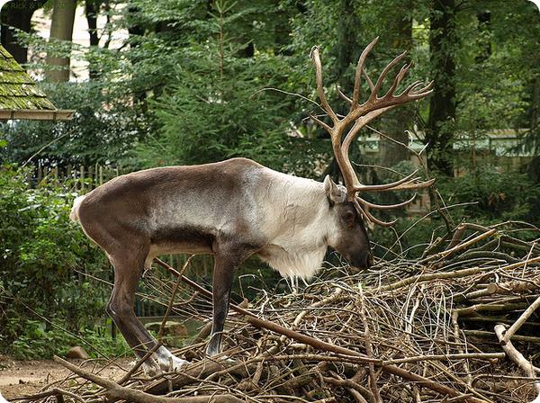 Лесной северный олень (R. tarandus fennicus)