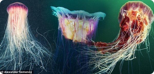 Сказочный, но опасный мир медуз