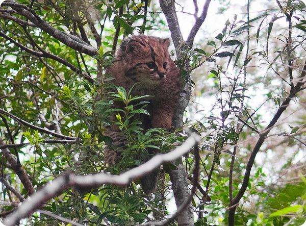 Чилийская кошка (лат. Leopardus guigna)