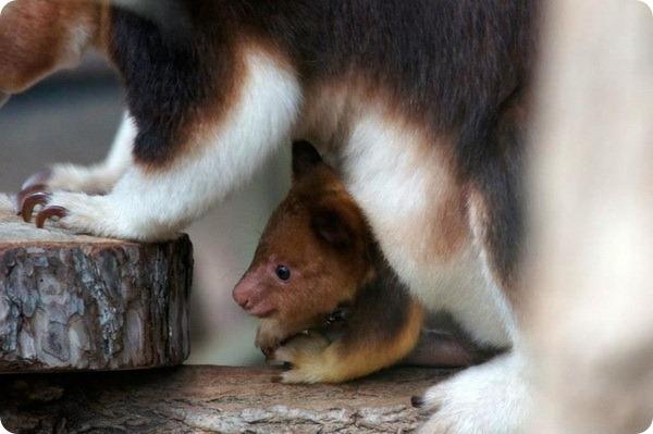 Детеныш древесного кенгуру из зоопарка Beauval Zoo