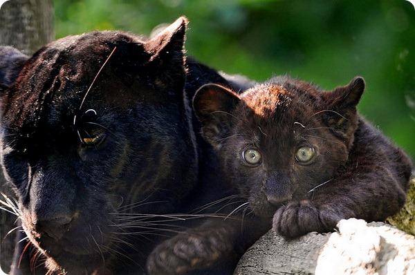 Интересно что далеко не всех пантер с