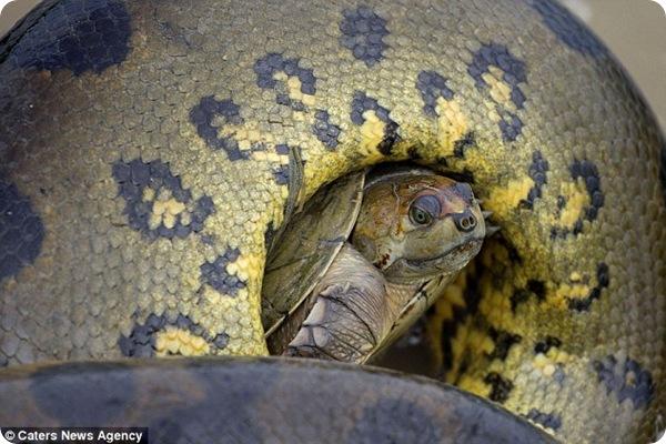 Черепаха в смертельных змеиных объятьях!