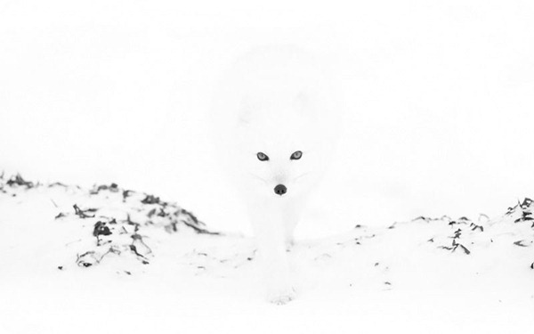 Белые песцы в фотографиях от Анны Хенли