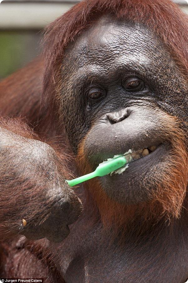 И орангутаны чистят зубы