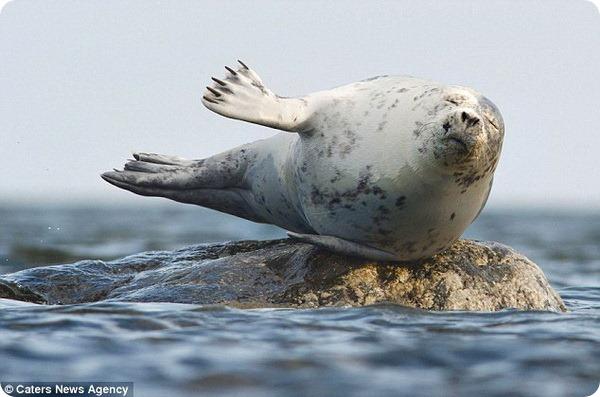 Тюлень-виртуоз