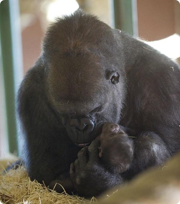 Горилла Озала и её новорожденный детёныш
